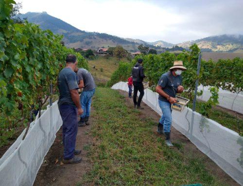 Vinícola realiza colheita da uva Sauvignon Blanc